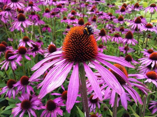 Echinacea purpurea benefici che fioriscono